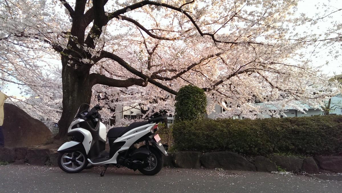 桜とトリシティ